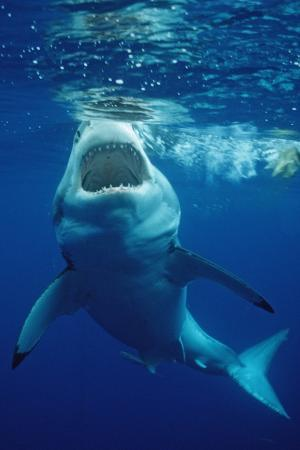 reinhard-dirscherl-great-white-shark-carcharodon-carcharias-mexico-pacific-ocean-guadalupe