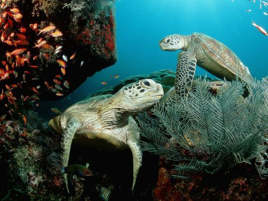 reinhard-dirscherl-green-sea-turtles-on-a-cleaner-station-on-a-coral-reef-chelonia-mydas-pacific-ocean-borneo