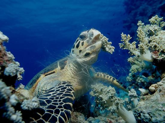 reinhard-dirscherl-hawksbill-sea-turtle-eretmochelys-imbricata-eating-soft-corals