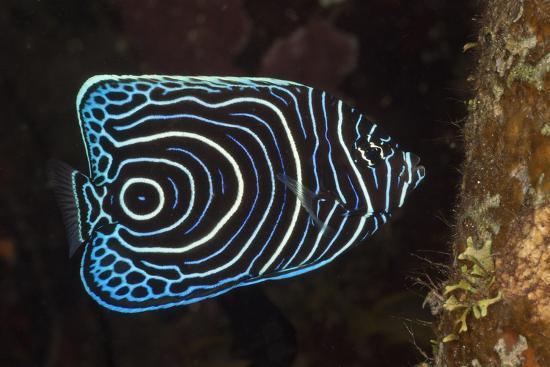 reinhard-dirscherl-juvenile-emperor-angelfish-pomacanthus-imperator-alam-batu-bali-indonesia