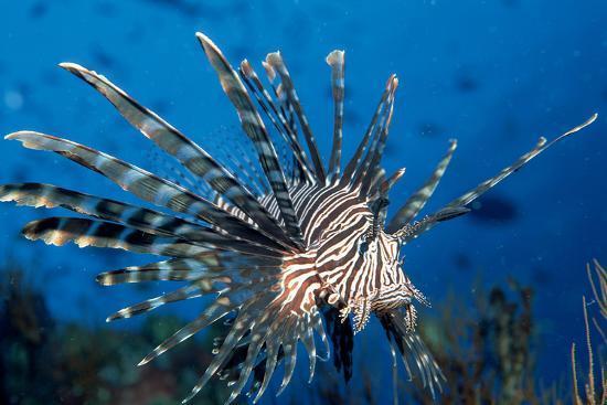 reinhard-dirscherl-lionfish-or-turkeyfish-pterois-volitans-indian-ocean