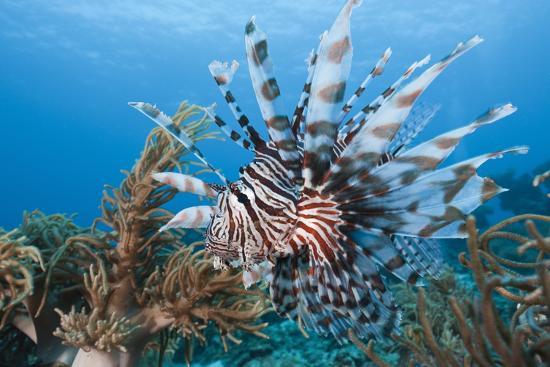 reinhard-dirscherl-lionfish-pterois-volitans-raja-ampat-west-papua-indonesia
