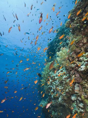 reinhard-dirscherl-lyre-tail-anthias-pseudanthias-squamipinnis-swimming-among-the-daedalus-reef-red-sea-egypt