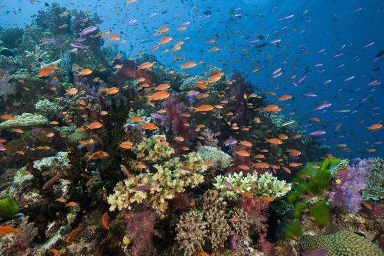 reinhard-dirscherl-lyretail-anthias-pseudanthias-squamipinnis-in-coral-reef