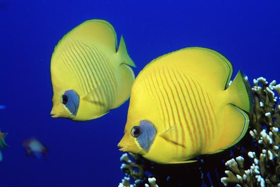 reinhard-dirscherl-masked-butterflyfish-egypt-africa-red-sea-chaetodon-semilarvatus