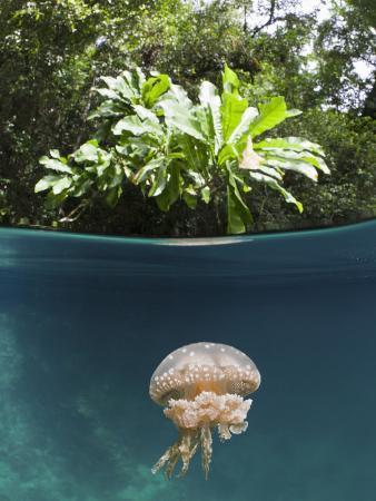 reinhard-dirscherl-mastigias-jellyfish-matigias-papua-risong-bay-micronesia-palau
