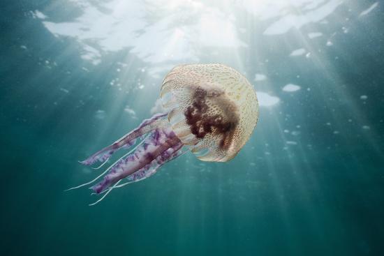 reinhard-dirscherl-mauve-stinger-jellyfish-pelagia-noctiluca-cap-de-creus-costa-brava-spain