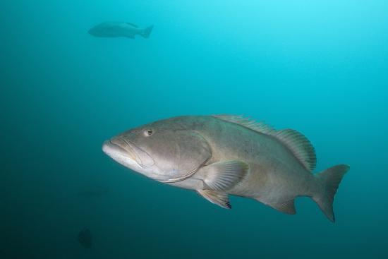 reinhard-dirscherl-pacific-goliath-grouper-epinephelus-quinquefasciatus