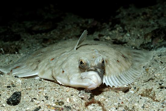 reinhard-dirscherl-plaice-pleuronectes-platessa-atlantic-ocean-europe