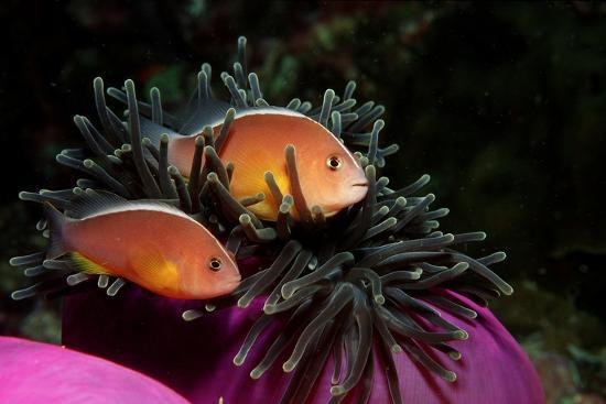 reinhard-dirscherl-skunk-anemonefishes-amphiprion-sandaracinos-in-a-sea-anemone-indian-ocean-andaman-sea
