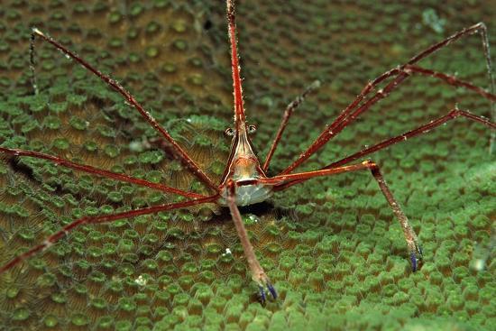 reinhard-dirscherl-spider-crab-stenorhynchus-seticornus-british-virgin-islands-bvi-caribbean-sea-leeward-islands