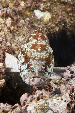 reinhard-dirscherl-starry-grouper-epinephelus-labriformis