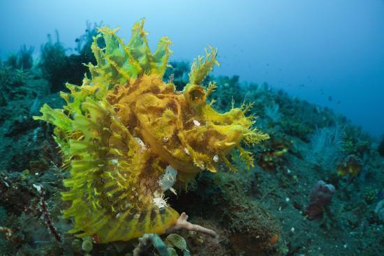 reinhard-dirscherl-yellow-weedy-scorpionfish-rhinopias-frondosa-alam-batu-bali-indonesia