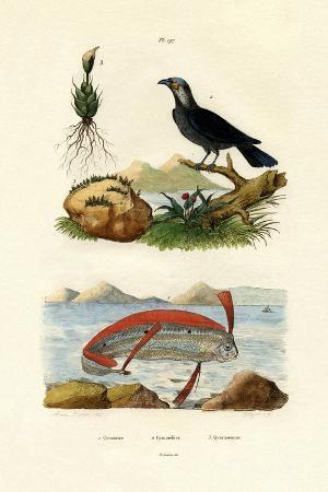 ribbonfish-1833-39