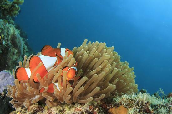 rich-carey-clown-anemonefish-in-anemone-on-underwater-coral-reef