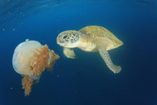 rich-carey-green-sea-turtle-feeds-on-large-pelagic-jellyfish