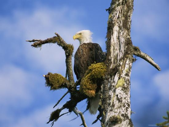 rich-reid-american-bald-eagle