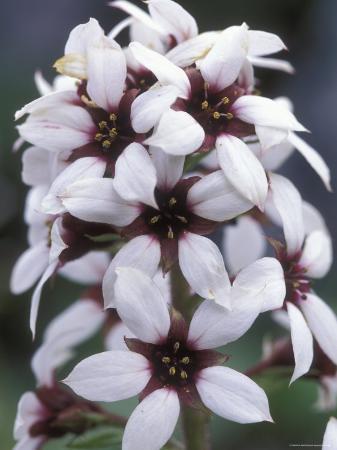 rich-reid-brook-saxifrage-in-the-brooks-range-alaska