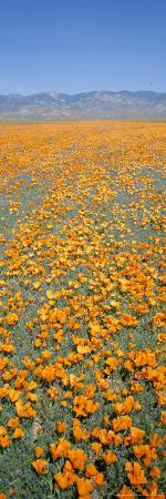 rich-reid-california-poppies-fill-a-landscape-with-a-golden-glow