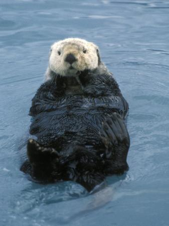 rich-reid-closeup-of-a-sea-otter-alaska