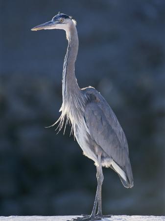 rich-reid-portrait-of-a-great-blue-heron