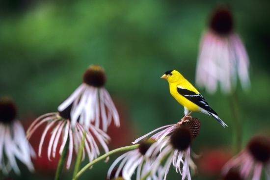 richard-and-susan-day-american-goldfinch-male-on-pale-purple-coneflower-in-flower-garden-marion-il