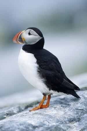 richard-and-susan-day-atlantic-puffin-machias-seal-island-maine