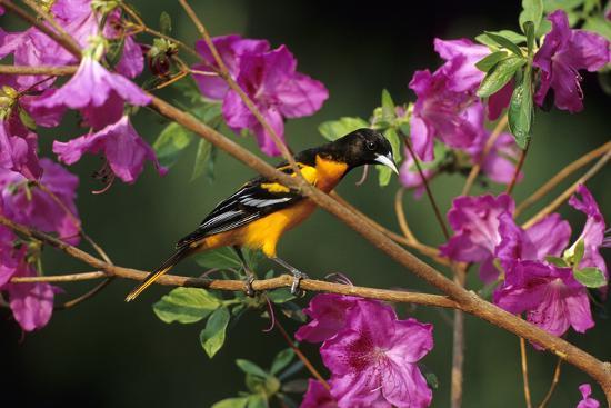 richard-and-susan-day-baltimore-oriole-male-on-azalea-bush-marion-il