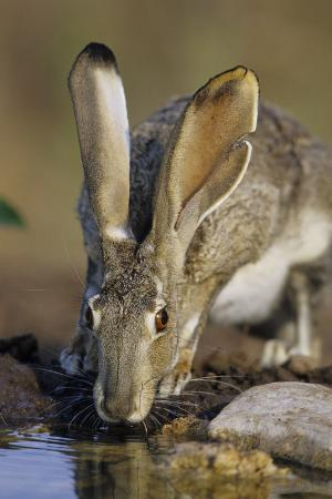 richard-and-susan-day-black-tailed-jack-rabbit-drinking-at-water-starr-county-texas