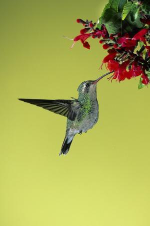 richard-and-susan-day-broad-billed-hummingbird-female-on-salvia-flower-arizona
