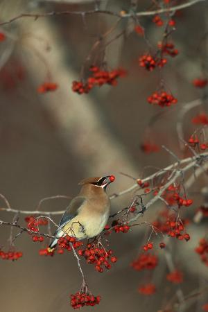 richard-and-susan-day-cedar-waxwing-eating-hawthorn-berry-sangomon-co-illinois