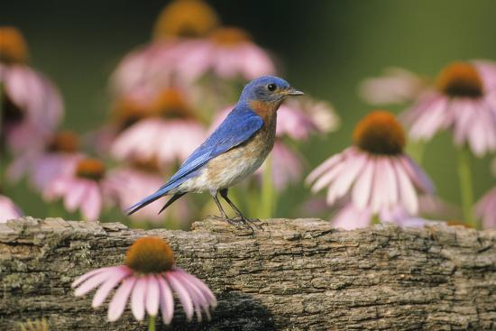 richard-and-susan-day-eastern-bluebird-male-on-fence-near-purple-coneflowers-marion-il