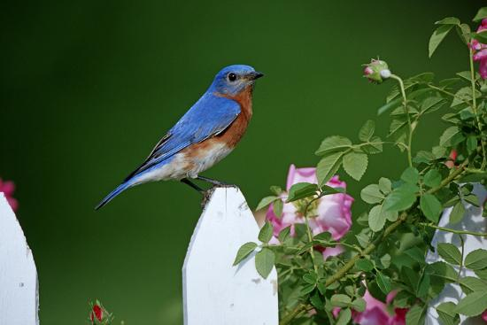 richard-and-susan-day-eastern-bluebird-male-on-picket-fence-near-pink-rose-bush-marion-county-illinois