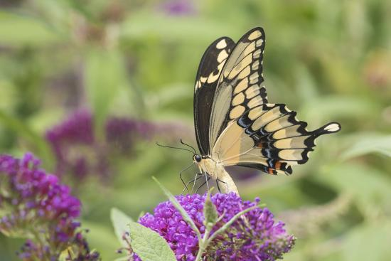 richard-and-susan-day-giant-swallowtail-butterfly-on-butterfly-bush-marion-county-il