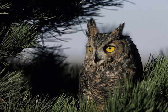 richard-and-susan-day-great-horned-owl-in-pine-tree-colorado