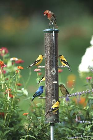 richard-and-susan-day-indigo-bunting-american-goldfinches-and-a-house-finch-on-a-thistle-feeder-marion-county-illinois