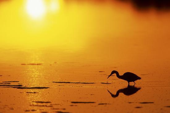 richard-and-susan-day-little-blue-heron-at-sunset-j-n-ding-darling-national-wildlife-refuge-florida