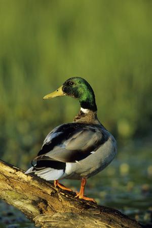 richard-and-susan-day-mallard-male-on-log-in-wetland-marion-county-illinois