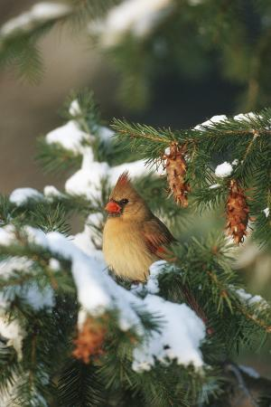 richard-and-susan-day-northern-cardinal-female-in-spruce-tree-in-winter-marion-il