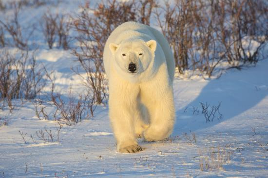 richard-and-susan-day-polar-bear-in-churchill-wildlife-management-area-churchill-manitoba-canada