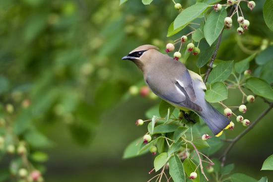 richard-ans-susan-day-cedar-waxwing-in-serviceberry-bush-marion-illinois-usa