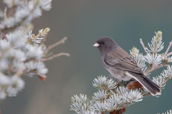 richard-ans-susan-day-dark-eyed-junco-in-spruce-tree-in-winter-marion-illinois-usa