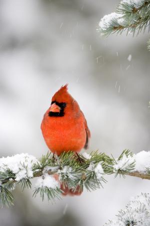 richard-ans-susan-day-northern-cardinal-on-blue-atlas-cedar-in-winter-marion-illinois-usa