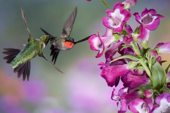 richard-ans-susan-day-ruby-throated-hummingbirds-at-a-penstemon-marion-illinois-usa
