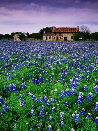 richard-cummins-field-of-blubonnets-marble-hill-area-texas