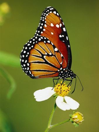 richard-cummins-monarch-butterfly-on-flower