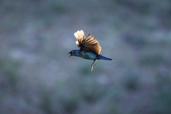 richard-du-toit-cape-glossy-starling-in-flight