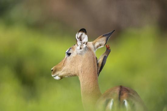 richard-du-toit-redbilled-oxpecker-on-an-impala