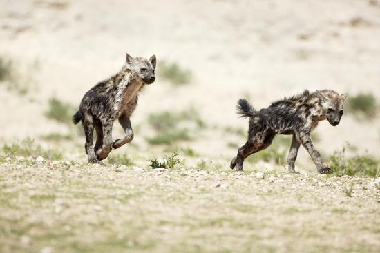 richard-du-toit-young-spotted-hyenas