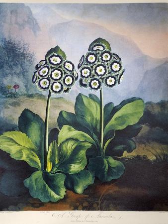 richard-earlom-thornton-auriculas